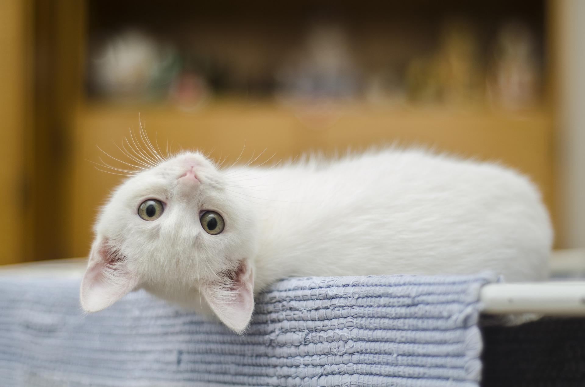 Réussir l'adoption d'un chaton